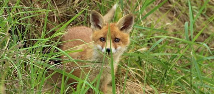 Cazador condenado en Barcelona por maltrato animal al causar la muerte de un zorro que quedó atrapado en una jaula trampa.