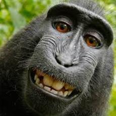 """Todavía sigue en disputa quién es el autor de la famosa monkey selfie"""""""