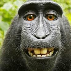 Terminó la batalla legal entre un fotógrafo y un mono, con un acuerdo